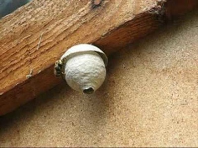 The making of a wasp nest